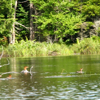 Very rare--a female Common Merganser with two babies