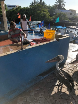 Pelican waiting for lunch at fishmonger